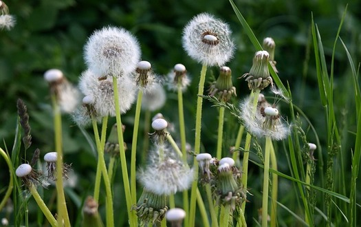 The combination of grass and weeds can make springtime miserable for Iowans with allergies. (Pixabay)