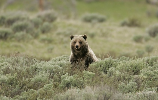 The Wyoming Game and Fish Department is getting ready to take over management of Yellowstone grizzlies and is accepting public comments until April 14.