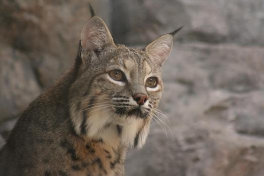 Conservation advocates rallied in Sacramento on Tuesday to ban certain kinds of rat poison, which also kills wild animals like bobcats. (sgarton/morguefile)