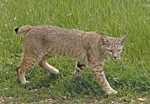 After bobcat hunting was made legal in Illinois last year, animal welfare groups say the animals need increased protections. (iStockphoto)