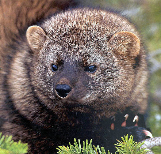 Pacific Fisher are being threatened by logging and illegal marijuana grows, according to the Center for Biological Diversity. (USFS Region 5 Reg/ U.S. Fish and Wildlife Service Pacific Southwest Region)