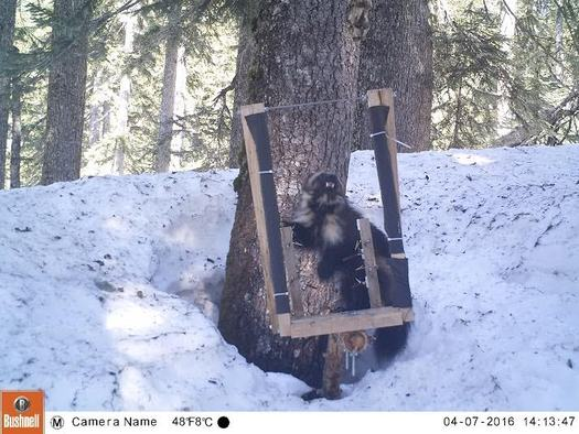 The feds are condemning a court decision that could force them to reconsider their decision not to list the wolverine as an endangered species. (Conservation Northwest Citizen Wildlife Monitoring Project)