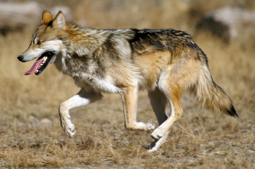 Conservation groups such as the Defenders of Wildlife are concerned about a lack of progress in reintroducing the endangered Mexican gray wolf into the wild. (JimClark/USFWS)