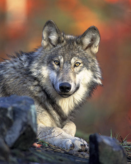 There were about 80 gray wolves in Oregon when the animal was removed from the state's endangered species list. (Gary Kramer/U.S. Fish & Wildlife Service)