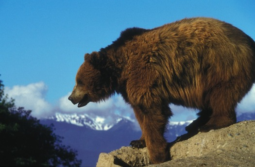 Wyoming officials are prepared to allow hunting and killing of Yellowstone grizzlies if the bears are removed from the Endangered Species List. (Skeeze/Pixabay)