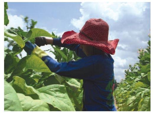 An audit commissioned by Reynolds American identifies instances of minors working in unsafe conditions on contracted tobacco farms in Virginia. (Marcus Bleasdale for Human Rights Watch)