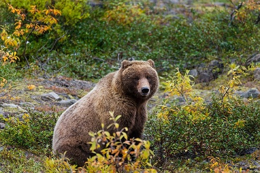 The public comment period on a proposal to take the Yellowstone Grizzly off the endangered species list ends today. (skeeze/pixabay)