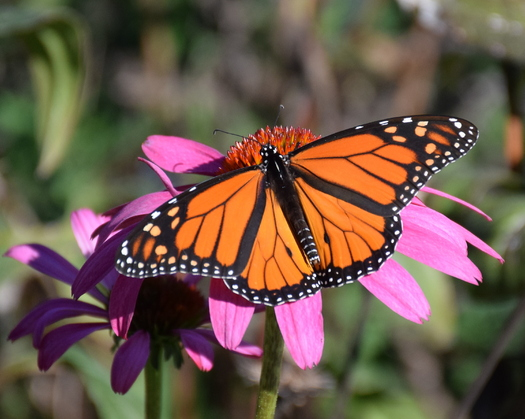 North Carolina's butterflies and other pollinators such as bees and hummingbirds are impacted by industrial and agricultural development. (Angelique Hjarding)