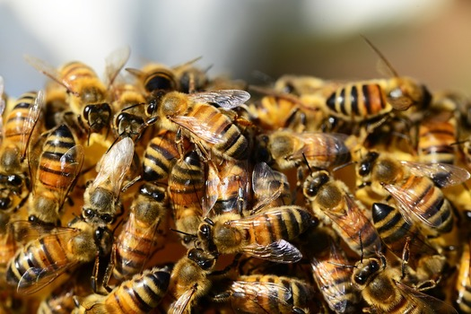 A controversial pesticide is said to be linked to the decline in U.S. honeybee populations. (Pixabay)
