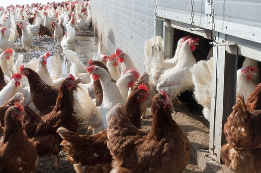 The use of antibiotics in factory farmed animals is linked to antibiotic-resistant infections (Pixabay)