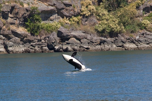 One clan of Northwest orcas sometimes travels to Oregon's Klamath River in order to feed on salmon. (pixabay)