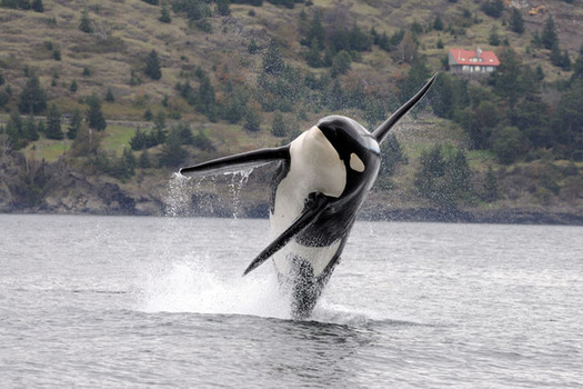 Conservation groups sent 105,000 petition signatures to the federal government asking that more waters be designated as critical habitat for the Southern Resident orca. (NOAA)
