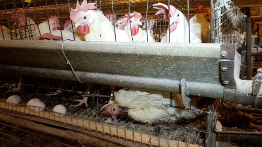 A hen is trapped under the wires of her cage. (HSUS)