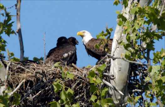 Bald eagles reach adult size about 12 weeks after hatching. (USFWS/Public-Domain-Image.com)