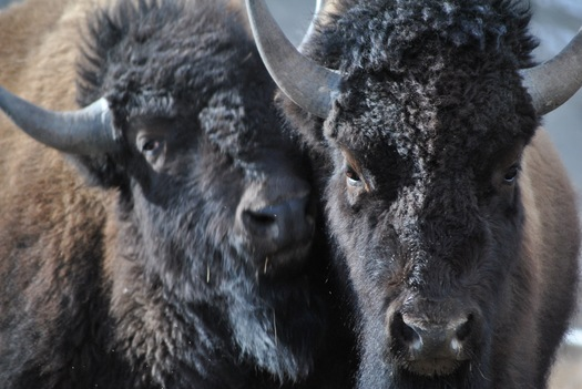 The public comment period ends Friday, July 15, on a proposal to transfer the National Bison Range to the Confederated Salish and Kootenai Tribes. (Buffalo Field Campaign)