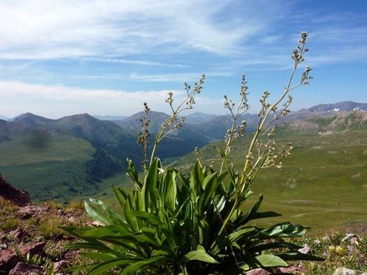 For the valerian plant, higher elevations in the Colorado Rocky Mountains are becoming much more co-ed due to climate change. (Dr. William Petry)