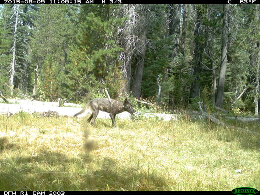 The gray wolf is one species targeted for lesser protections in an amendment to the Endangered Species Act. (California Department of Fish and Game)