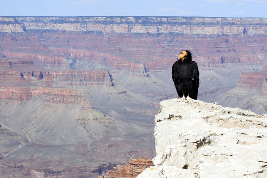 The Sierra Club is disputing the Arizona Game and Fish Department's claim that Grand Canyon uranium mining isn't harmful to the endangered California condor. (kojohirano/iStockphoto)