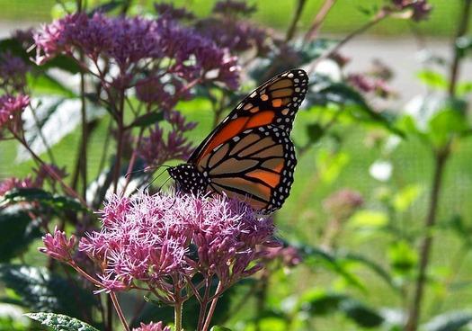 A citizen science program is seeking volunteers to track monarch butterflies and milkweed plants. (Pixabay)