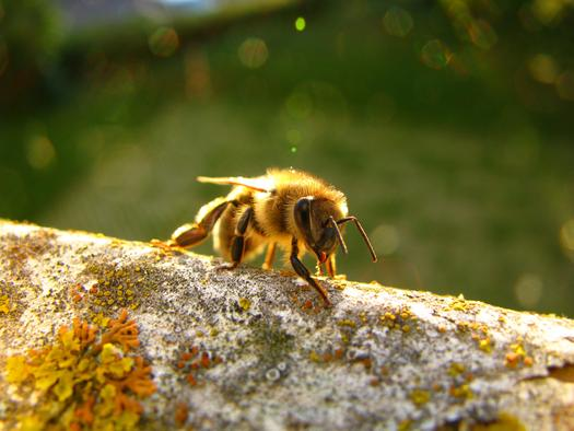 A new study of plants purchased at national retail outlets shows a drop in pesticides harmful to bees. (Danic/morguefile.com)