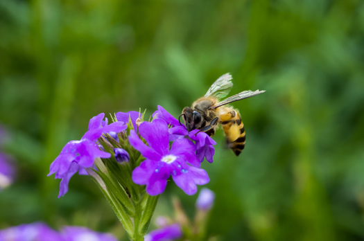 """New numbers show that stores carrying """"bee-friendly"""" products are seeing an uptick in sales, while lowering the use of toxic pesticides. (iStockphoto)"""