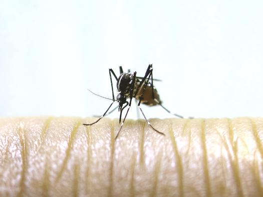 The species of mosquito that can carry the Zika virus has been found in Sierra County for the first time. (Dodgerton Skillhause/morguefile)