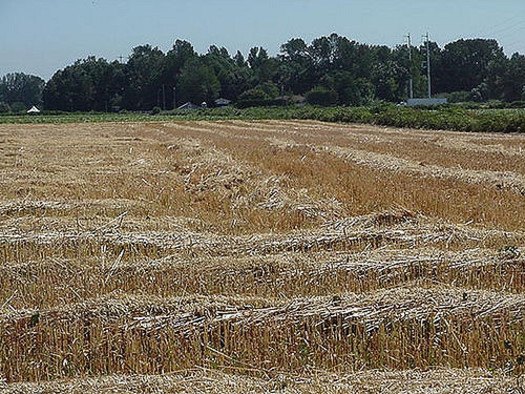 Adding a small grain such as oats as a third cash crop brings environmental and economic benefits. (B.G.Z Olson/Flickr)