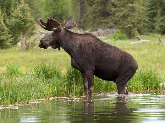 There should be no shortage of Moose at Maine's newest national monument in the North Woods. (Walter Ezell via wiki).