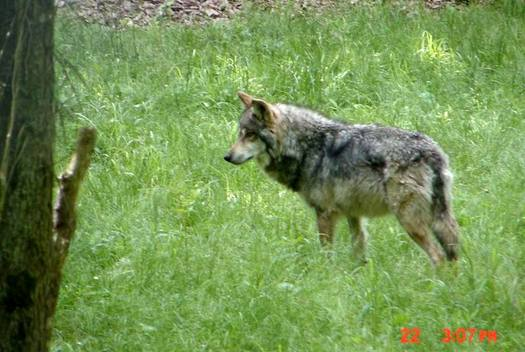 A new study shows that killing predators like the Mexican Gray Wolf may not reduce livestock losses.(Endangered Wolf Center)