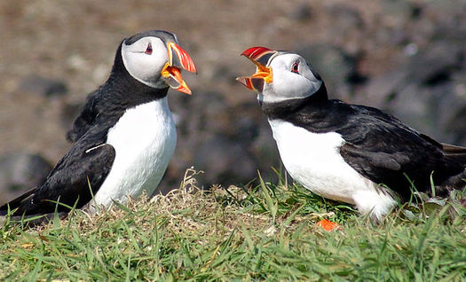 Conservation groups in New England say the puffin is one of many species that will benefit from designation of the first National Marine Monument in the Atlantic. (Steve Deger/Wikimedia)