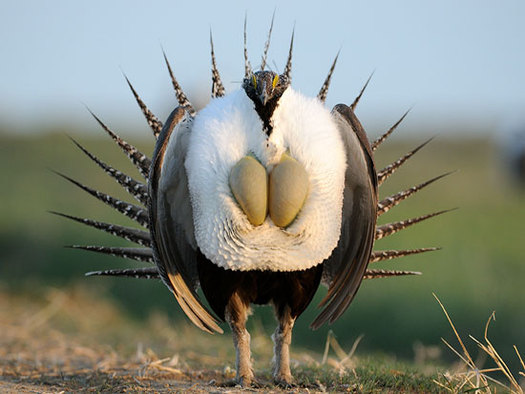 Thursday marks the one-year anniversary of the U.S. Fish and Wildlife Service's decision not to list the greater sage grouse as an endangered species. (USFWS)