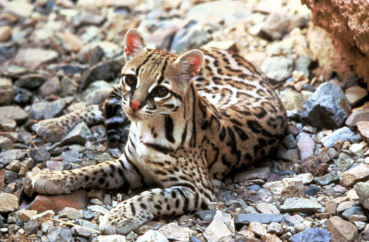 Conservation groups have filed suit to protect the endangered ocelot from a federal program to kill other predators such as coyotes and bobcats. (TomSmiley/USFWS)