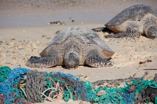Even small bits of plastic bags can get trapped in a turtle's stomach, causing an untimely death. (NOAA)