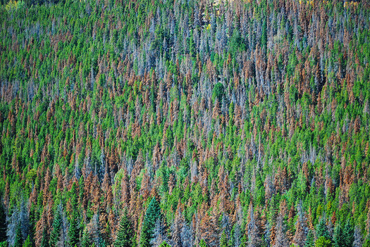 Warmer winters in the Northwest due to climate change could mean more damage from species such as pine beetle. (Don Becker/U.S. Geological Survey)