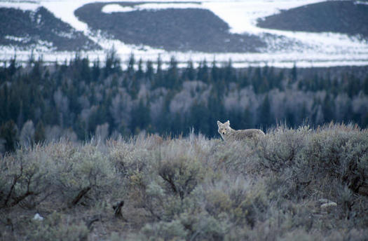 A coyote-hunting contest is taking place Saturday and Sunday in Lake County, Ore. (John Mosesso/U.S. Geological Survey)