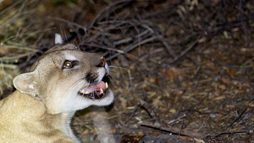 P-45, the male mountain lion suspected of killing several alpacas over the weekend. (National Park Service)