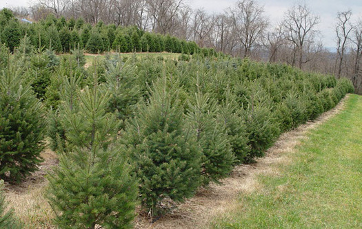Pennsylvania has more than 1,300 Christmas tree farms. (CBF Photo)