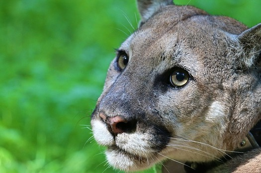 Colorado Parks and Wildlife is proposing killing natural predators, including cougars, to increase deer populations. (Pixabay)