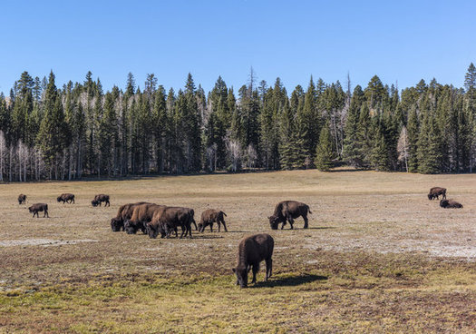 Bison graze in the Kaibab National Forest, part of the proposed Greater Grand Canyon Heritage National Monument.(Michelle Vacchiano/iStockphoto)