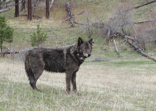 A conservation group has placed the endangered gray wolf on its list of 10 species that should be prioritized by the Trump administration. (Oregon Department of Fish and Wildlife/Flickr)