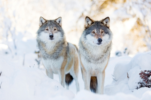 The gray wolf once flourished in Wisconsin, but is now on an imperiled species list. (kjekol/iStockPhoto)