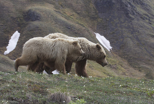 """Federal agencies have released a new plan to recover grizzly bear numbers in the North Cascades region of Washington state. (Gregory """"Slobirdr"""" Smith/Flickr)"""