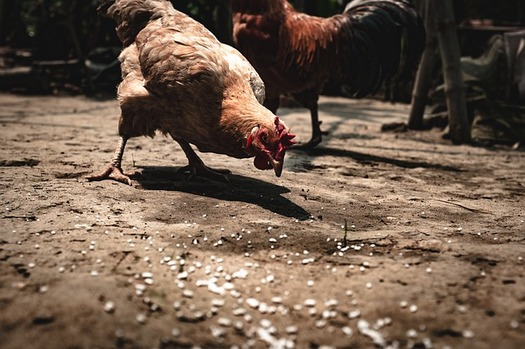 Iowa poultry farmers will have greater protections for dealing with processors under new USDA rules. (Pixabay)
