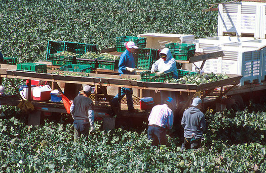 Migrant workers harvest broccoli near Santa Maria. Some California business owners aren't happy about the new president's crackdown on undocumented workers. (Beth Golden)