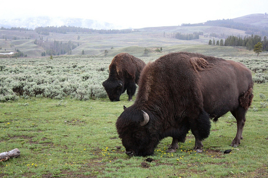 Montana Gov. Steve Bullock has temporarily blocked 40 Yellowstone bison from being slaughtered. (Jimmie/Flickr)