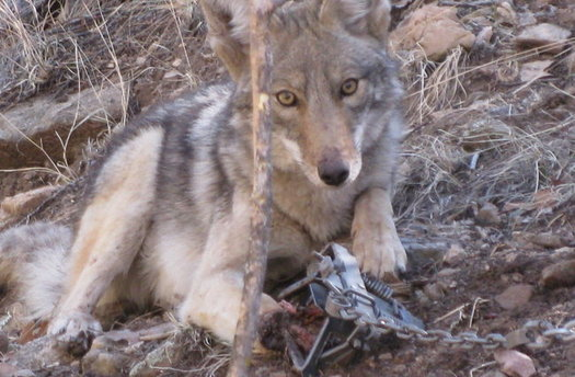 A move to ban animal traps and poisons on public lands has been postponed and may be heard next week in Santa Fe. (Mary Katherine Ray/Trap Free New Mexico)