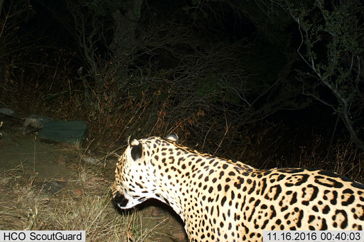 A jaguar walks past a trail camera in the Dos Cabezas Mountains in November. (Bureau of Land Management)