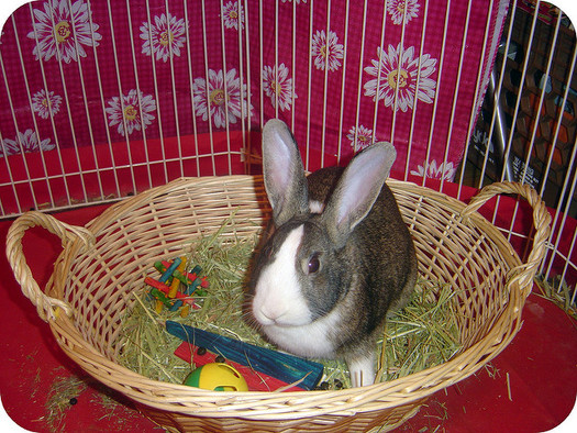Nearly four out of five bunnies given as Easter gifts are abandoned or die in less than a year. (Troy Trolley/Flickr)