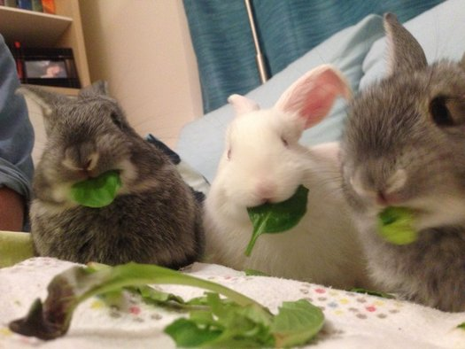Animal-rescue advocates in New England are putting the word out ahead of the Easter holiday; rabbits should not be impulse purchases. (E. Hartman).
