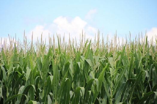 Minnesota had a record corn crop last year, but corn is just one crop under threat from climate change. (USDA)